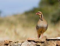 Chukar Partridge (Alectoris chukar) Stock Image