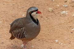 A Chukar Partridge Alectoris chukar walks in the desert sand and pauses to clean or preen itself in the United Arab Emirates. UAE stock image