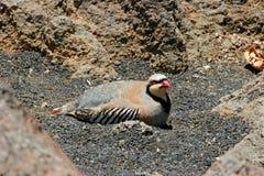 Chukar Partridge Bird Royalty Free Stock Images
