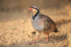 Chukar partridge Stock Photo