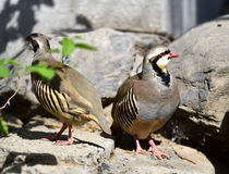 Chukar Partridge Stock Photography
