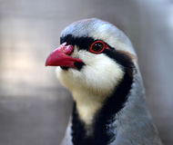 Chukar Partridge Stock Image