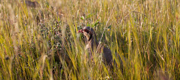Chukar partridge peeking through grass stock image