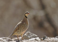 Chukar partridge in Rumbak Valley Royalty Free Stock Images