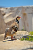 Chukar Partridge Stock Images