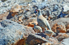 A chukar partridge with two chicks in the Nevada Desert, California. The image shows an adult chuckar partridge or chukar (Alectoris chukar) with two Stock Photography