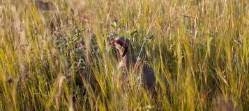 Chukar-Rebhuhn, das durch Gras späht Stockbild