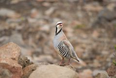chukar single Obraz Royalty Free