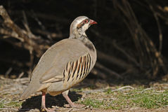 Chukar, Upland Game Bird Stock Image