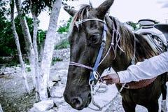 Chulada koń Zdjęcia Royalty Free