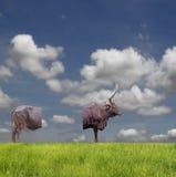 Chuleta de Bull. fotografía de archivo