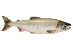 Chum salmon. Pacific chum salmon, fresh caught mature male Royalty Free Stock Photo