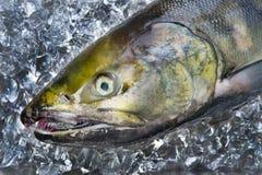 Chum salmon Royalty Free Stock Photography