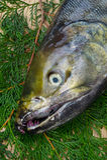 Chum salmon Stock Images