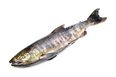 Chum salmon Stock Image