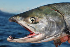 Chum Salmon British Columbia. A large male chum salmon, caught while sport fishing off Vancouver Island, British Columbia, Canada stock images