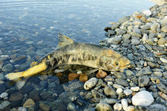 The chum salmon (Oncorhynchus keta) the comer spawns dies in the river Stock Photography