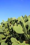 Chumbera nopal cactus plant blue sky Stock Photo