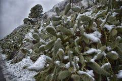 Chumberas congelado Fotografia de Stock