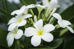 Chumpa kwiaty Zdjęcie Stock
