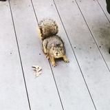 Chunky Squirrel royalty free stock images