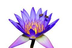 Chupar el néctar Foto de archivo