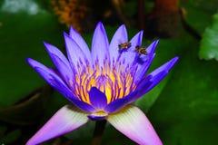 Chupar el néctar Imagen de archivo libre de regalías