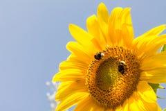 chupar el polen Imágenes de archivo libres de regalías