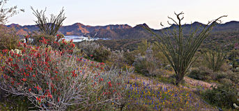 Chuparosa. Blooming Chuparosa in Sonoran Desert, near Phoenix stock photography