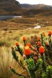 Chuquiragua andyjski kwiat w Cajas parku narodowym zdjęcie royalty free