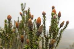 Chuquiragua rośliny Park Narodowy koka Ekwador Zdjęcie Stock