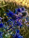 Chuquirahua Blume der Anden schließen oben lizenzfreie stockbilder