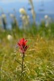 Chuquirahua Blume der Anden schließen oben Stockfotografie