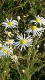 Chuquirahua Blume der Anden schließen oben Stockfoto