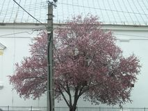 Church and blossoming wild plum tree royalty free stock images