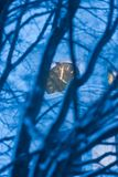 Church clock through trees at dusk. Royalty Free Stock Photo