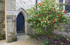 Church door with rose bush. A flowering rose bush growing next to the door of the entrance to a church royalty free stock images