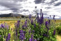 Church of the Good Shepherd and Lupine flowers, lake Tekapo, New Zealand. stock photos