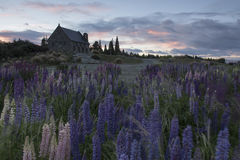 Church and lupines blossom at Lake Tekapo, New Zealand Royalty Free Stock Photos