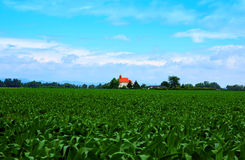 Church in The Middle of Maize Field Stock Photography