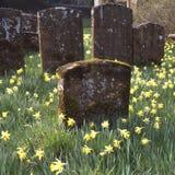 Churchyard com daffodils Imagem de Stock Royalty Free