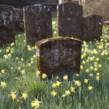 Churchyard with daffodils Royalty Free Stock Image