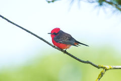 Churrinche, Vermiljoenenvliegenvanger Stock Afbeeldingen