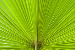Chusan Palm Leaf section Royalty Free Stock Images