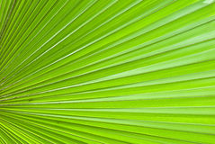 Chusan Palm Leaf section Royalty Free Stock Image