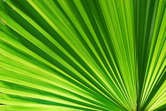 Chusan Palm Leaf section Stock Photography