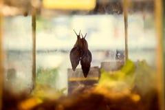 Chute à la maison d'Achatina d'escargot dans l'amour Image libre de droits