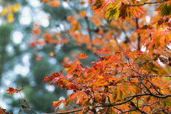 Chute Autumn Japanese Maple Branches, feuilles de vert Jaune rouge et orange Photos libres de droits