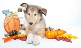 Chute Collie Puppy photos stock