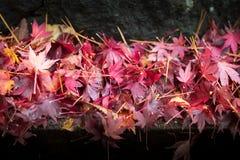 Chute colorée de feuilles d'érable Images libres de droits